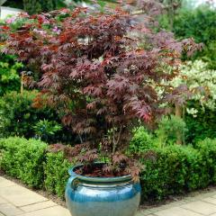 £16 for 3 Plant Acer Japanese Maple Collection
