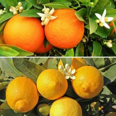 £8 off Pair of Large Citrus Trees
