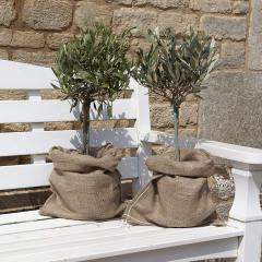 43% off YouGarden Mini Standard Olive Trees