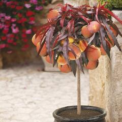 £2 off YouGarden Peach Crimson Bonfire Patio Fruit Tree