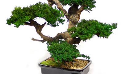 35 Trends For Bonsai Tree Meaning In Marathi Pink Wool